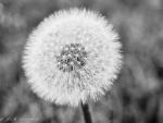 Dandelion in BW